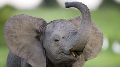 Soul of the Elephant | Where Are Africa's Elephants? | Nature | PBS