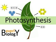 Photosynthesis and cellular respiration kit for ap biology life this is an updated version of my class notes on the topic of photosynthesis i use this presentation during my honors biology class at beverly hills high fandeluxe Gallery