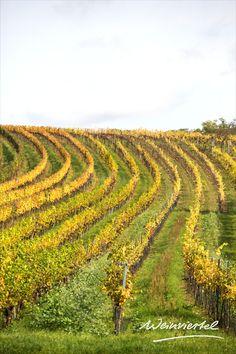 Wer ins Weinviertel reist, der kommt an idyllischen Weingärten nicht vorbei. Diese erstrahlen vor allem im Herbst in besonders prächtigen Farben. Romantische Spaziergänge zwischen Reben & Trauben laden ein, sich voll und ganz auf das Hier & Jetzt zu konzentrieren. Wer es noch aktiver mag, dem bieten zahlreiche Radrouten entlang von Weingärten und Kellergassen die passende Alternative. Welche genussvollen Unternehmungen sonst noch auf dich warten erfährst du hier! © Weinviertel Tourismus… Vineyard, Outdoor, Waiting, Tourism, Things To Do, Landscape, Outdoors, Vine Yard, Vineyard Vines