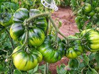 7 правил большого урожая помидоров