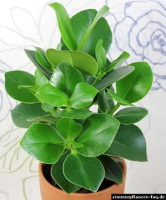 Indoor plant - grows to 3m, unfussy! Clusia major; german name is Balsamapfel