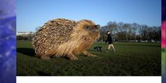 """Giant Hedgehog model  made for the promothion of the """"Natural Curiosities""""   watch 公式サイト"""