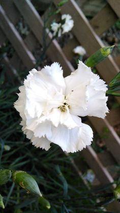 Carnation seeds $1 buy online - white flowers hardy