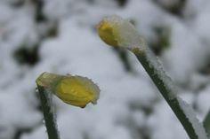 Påskeliljer med sne