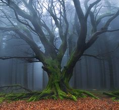 This is a tree that I would visit everyday to clear my mind and connect with nature. All Nature, Nature Tree, Amazing Nature, Mother Earth, Mother Nature, Old Trees, Tree Forest, Foggy Forest, Misty Forest