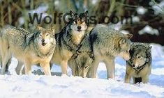 Visit WolfGifts.com for more cool wolf photos. My Spirit Animal, My Animal, Large Animals, Cute Animals, Wild Animals, Prada, Wolf Photos, Wolf Stuff, Howl At The Moon