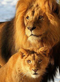 Leão pai e filhote                                                                                                                                                                                 Mais