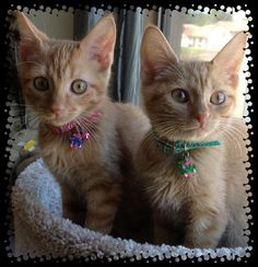 My two orange tabby kittens....Sunny and Tangy....rescued from humane society #orange tabby cat