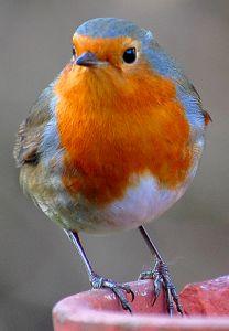 A European Robin, (Erithacus rubecula. Pretty Birds, Love Birds, Beautiful Birds, Animals Beautiful, Cute Animals, Hello Beautiful, Exotic Birds, Colorful Birds, Robin Bird
