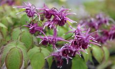 """EPIMEDIUM grandiflorum Purple Prince 8"""" tall clump topped by darkest purple flowers then second flush of leaves cover old flower stalks at about 18"""" tall."""