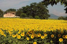 Sunflowers   so today s gardening tip is this 1 plant sunflowers in your garden ...