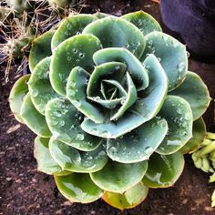 "my next tattoo a cactus rose - ""echeveria imbriacata"""