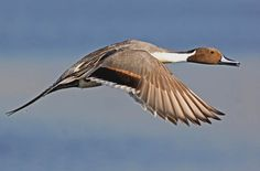 pintail, a beautiful duck