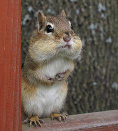 Petit suisse -- Little chipmunk