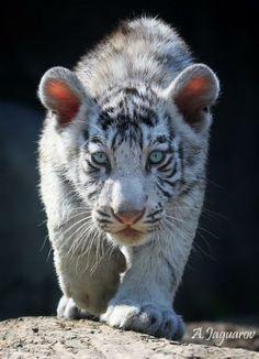 Baby witte tijger