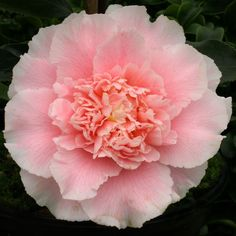 camellias Elegans Splendour