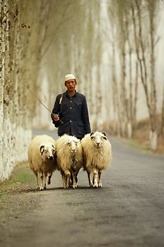 China, Gansu Province, Shepherd and sheep near Lanzhou  @ David Sanger