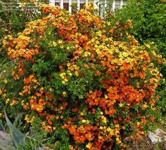 Marmalade bush or Orange Browallia (Streptosolen jamesonii) Full sun, fast-growing, evergreen shrub 6 ft. tall, showy yellow to dark orange flowers nearly all year in zones 10-11. Needs open, sunny site with excellent drainage. Sprawling growth likes support.