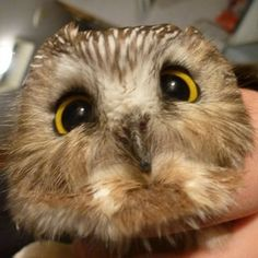 Owls have beautiful eyes, they are great hunters and are highly intelligent. Here are 30 owls photos that prove they are stunning and elegant creatures. All Birds, Birds Of Prey, Beautiful Owl, Animals Beautiful, Owl Species, Saw Whet Owl, Owl Photos, Picture Blog, Wise Owl