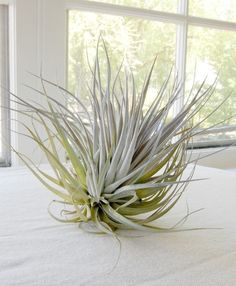 This one is a beauty - a soft light purple/sage airplant around the size of a softball. Airplants are incredibly easy to care for - just soak