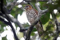 Mauritius Kestrel (Falco punctatus) Adult male on branch near nest - ventral view.
