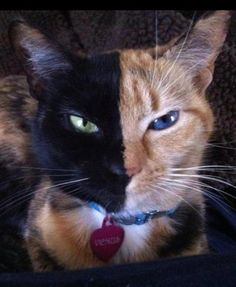 VENUS the Chimera Cat - even the eyes are different on each side.
