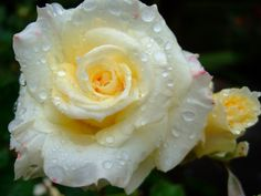 All sizes | Rose | Flickr - Photo Sharing!