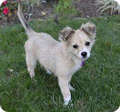 JONAS | Adopted Puppy | Newport Beach, CA | Sheltie, Shetland Sheepdog/Pomeranian Mix