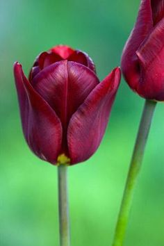 Tulip 'Jan Reus', 50cm mid to late April. Good with Tulip 'Flaming Spring Green' and Tulip 'Ronaldo'