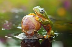 Moving at a snail's pace! Lazy frog hitches ride on slow-moving mollusc - Mirror Online...Fabulous shot!!