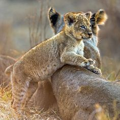 Lion Cub Resting Against Mama's Back. I Love Cats, Big Cats, Cool Cats, Cute Baby Animals, Animals And Pets, Wild Animals, Beautiful Cats, Animals Beautiful, Majestic Animals