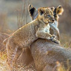 Lion Cub, Chitabe Camp, Okavango Delta, Botswana