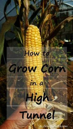 How to Grow Corn in a High Tunnel and the benefits of doing so. via @A Life In The Wild