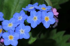 Forget-me-not - Myosotis sp - Durlston CP Dorset 180415 (3)