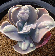 """Echeveria """"Lilac Frost"""""""