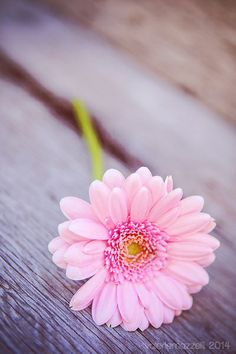 'Gerber Daisy' by valeriemazzelli Flower Iphone Wallpaper, Flower Background Wallpaper, Flower Backgrounds, Cellphone Wallpaper, Flower Wallpaper, Beautiful Flowers Wallpapers, Beautiful Nature Wallpaper, Pretty Wallpapers, Beautiful Roses