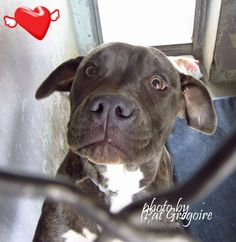 07/19/15-A4855336 I am a very sweet 8 month old female br brindle/white pit bull mix. I came to the shelter as a stray on July 13. available 7/17/15 NOTE: Pit bulls are not kept as long as others so those dogs are always urgent!! Baldwin Park shelter https://www.facebook.com/photo.php?fbid=1000198446658659&set=a.705235432821630&type=3&theater