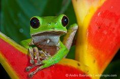 Phyllomedusa camba #frogs #amphibians #herpetology