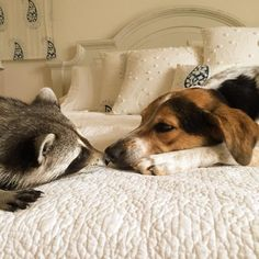 Pumpkin, an orphaned raccoon, thinks she's a dog too! You have to see all the cute pics...what a character!