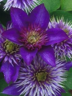 Clematis Multi-Blue-Zone 4-10, 7-8', blooms in June and September