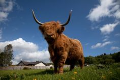 Highland cattle by Gail Johnson on 500px