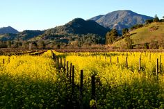 Calistoga will look like this for our March 9th Music Festival! Mustard, Mud & Music! Wine, Food, Arts & Wellness.