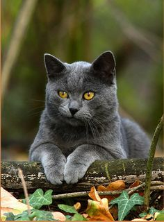 The British Shorthairs ~ are easily trained and adaptable. Very affectionate and become quite attached to the people that own.