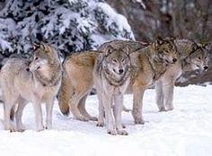 Webklik.nl - wolvenliefde