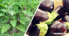 Η μελιτζάνα είναι μέλος της οικογένειας των σολανοδών, στην οποία ανήκουν επίσης οι πατάτες οι ντομάτες και οι πιπεριές. Υπάρχουν πολλές ποικιλίες που δίνουν καρπούς σε διάφορα σχήματα και αποχρώσεις, με πιο συνηθισμένο χρώμα να είναι το μωβ σκούρο. Είναι πολύ δημοφιλής επειδή μαγειρεύεται με διάφορους τρόπους, γίνεται ψητή, βραστή, τηγανιτή και χρησιμοποιείται και στις … Eggplant, Vegetables, Garden, Plants, Food, Decor, Garten, Decoration, Lawn And Garden