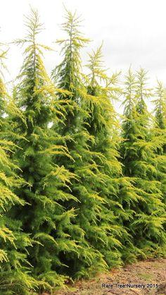 Cedrus Deodara  Conifer Tree and Bonsai x 500 Seeds. Deodara Cedar