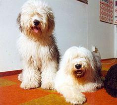 Tefka van Anajah - Old English Sheepdog Database