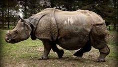 Картинки по запросу носорог