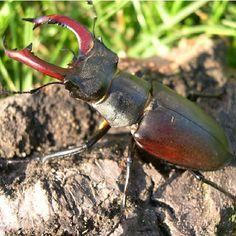 Pancerny mocarz -Jelonek rogacz #polesie #poleski #jelonek #rogacz #owad #silacz #przyroda #stag #beetle #hero #insect