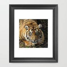 #Tiger_2014-1001 #FramedArtPrint #Jamfoto #Society6